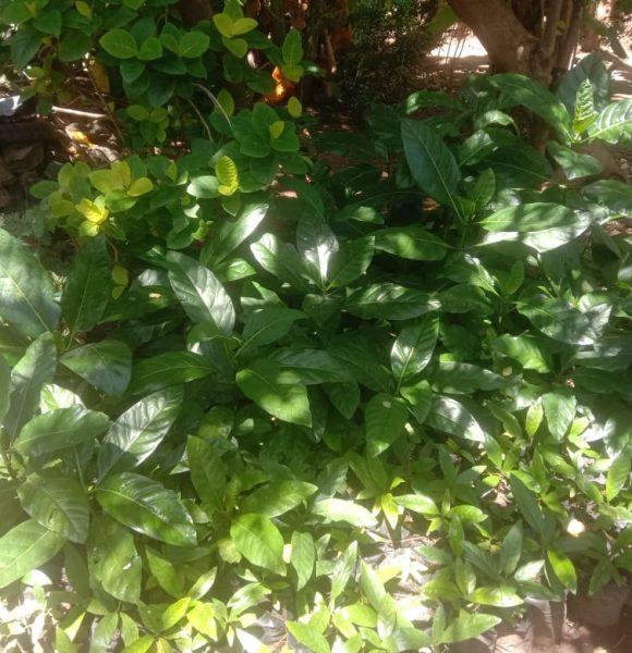 260 Morinda citrifolia samplings are ready for planting.